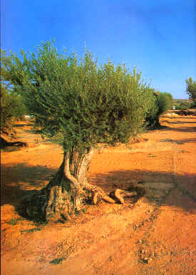 Olive cultivation in les Garrigues is of excellent quality