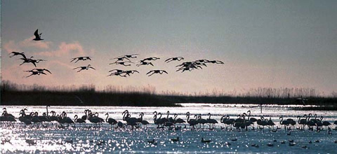 Flamingoes at the Ebro Delta